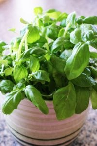 Potted Basil Pl