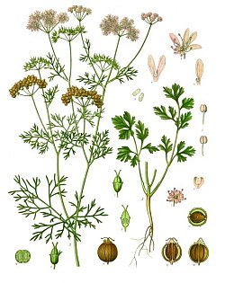 Growing Cycle of Coriander