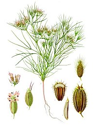 Growing Cycle of Cumin